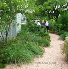 …and looking to the left, a pleasant scene, with salvias, ornamental grasses, winecup, prickly pear, and Anacacho orchid tree mulched directly in the gravel path rather than separated into mulched beds. The deep beds, mid-size evergreen plants, and neighbor-friendly fence work together to bring a feeling of privacy to the front garden, and a separation from the street.