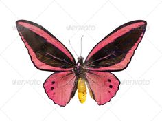 Realistic Graphic DOWNLOAD (.ai, .psd) :: http://sourcecodes.pro/pinterest-itmid-1006971560i.html ... butterfly ...  animal, background, bright, butterfly, insect, isolated, red, white  ... Realistic Photo Graphic Print Obejct Business Web Elements Illustration Design Templates ... DOWNLOAD :: http://sourcecodes.pro/pinterest-itmid-1006971560i.html