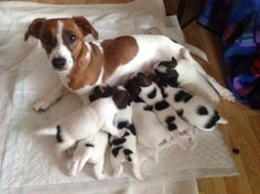 Litter of jack russell puppies! Adorable!
