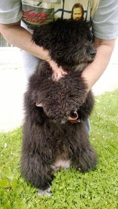 7 Best Newfypoos Images Dogs Poodle Mix Newfoundland