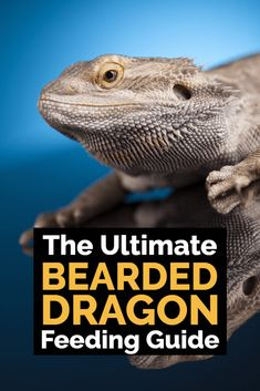 , Ultimate Bearded Dragon Diet Guide - What Do Bearded Dragons Eat? , What do bearded dragons eat? What are the common mistakes that bearded dragon owners make with their diet? This ultimate guide to feeding bearded drag. Bearded Dragon Feeding, Bearded Dragon Habitat, Bearded Dragon Cage, Bearded Dragon Food List, Pet Lizards, Pet Dragon, Baby Dragon, Reptiles And Amphibians, Health And Fitness