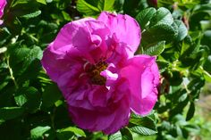 Charles Albanel  ruusu