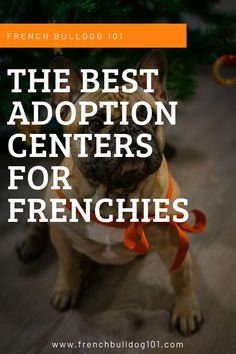 Looking for information about adopting French bulldogs? Discover our list of the best French bulldog adoption centers and services. Adopt your Frenchie today!  #frenchbulldog #frenchbulldogadopt #frenchietips #frenchies French Bulldog For Adoption, French Bulldog Facts, English Bulldog Puppies, Pug Puppies, French Bulldogs, Terrier Puppies, English Bulldogs, Bull Terriers, Boston Terrier