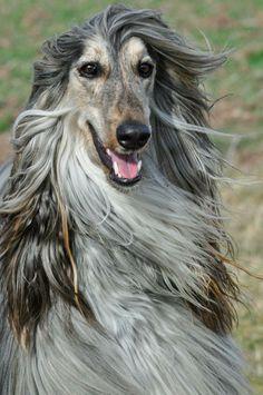 "Via Facebook Ines Fiedler ""Casanova/Carli"" #afghan hounds #dog #dogs #dogbreed #animal #pets"