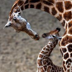 Wonderful Giraffe Photography