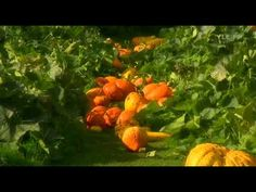 ▶ Fork to Fork - 4 - Squashes - YouTube-monty and sarah don from their garden to the kitchen