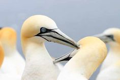 Our guide explores some of the UK's most common types of seabird, where they live and the best places to see them. Horrible Histories, British Countryside, Sea Birds, Wild Ones, New Books, Places To See, The Good Place, Bass, Scotland