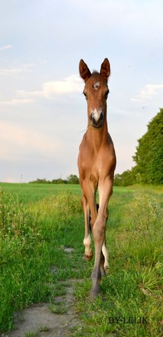 Trakehner foal straight as a stick