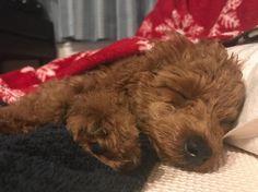 甘ちゃんと添い寝🤤❤️ #20171203 #トイプードル#トイプ#トイプードル部#女の子#生後3ヶ月#moco🐶💗#愛犬#わんこ#我が家の天使#犬バカ部#親バカ#zzz #kawaii#angel#Toypoodle#girl#pet#family#dog#cute#dogstagram#mydogismybestfriend#mydogiscutest#love#dogmodel#todayswanko#puppydog#puppy 天使だな〜〜って見てたらいびき! 安心して熟睡できてる証拠ですね❤︎