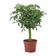 Ficus benjamina je drobnolistý ficus, ktorý je pre svoj vzhľad často pestovaný ako izbová bonsai. Ficus je vcelku nenáročná rastlina, ale jej pestovanie ..