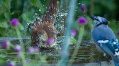 Brown Thrasher sharing his birdbath with Blue Jay