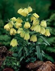 18 best yellow flower power images on pinterest yellow flowers guinea hen flower yellow fall bulb fritillaria meleagris pallidiflora the guinea hen flower yellow mightylinksfo