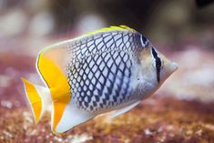 Butterflyfish Complete Guide: Compatibility, Tank Requirements, Diet and Species - Fishkeeping World Underwater Creatures, Underwater World, Colorful Fish, Tropical Fish, Home Aquarium, Creature Drawings, Bird Tree, Saltwater Aquarium, Sea And Ocean