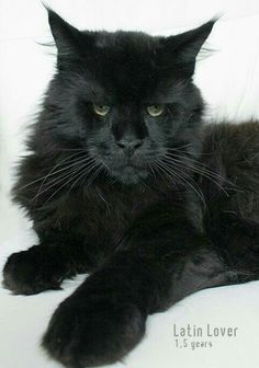 What a stunning Black Maine Coon from Newanhof Maine Coons Mainecoon cats cattery Upper Austria, 4501 Neuhofen - Mainecoon Austria Pretty Cats, Beautiful Cats, Animals Beautiful, Cute Animals, I Love Cats, Crazy Cats, Cool Cats, Maine Coon Kittens, Cats And Kittens