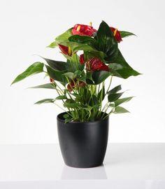A flamingóvirág (Anthurium) gondozása - CityGreen. Inside Plants, Gerbera, Plant Care, House Plants, Planter Pots, Gardening, Minden, Vases, Growing Plants