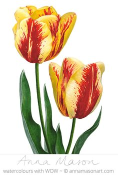 Anna Mason Art Tulips 'Excellent Perfection' Botanical Print From An Original Watercolor 60 9 X 12 Shipped Worldwide Art Floral, Watercolor Flowers, Watercolor Art, Botanical Drawings, Botanical Prints, Anna Mason, Tulip Painting, Tulip Bulbs, Watercolor Illustration