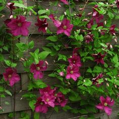 Clematis viticella Jenny Caddick - Friedrich M. Westphal Clematis cultures