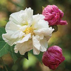Confederate Rose | SouthernLiving.com