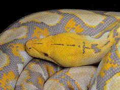 albino reticulated python - Google Search