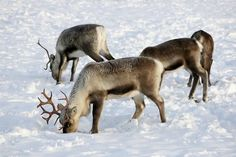 Reindeer are adapted to the chilly climes of the Arctic tundra, including Scandinavia . As they sport hollow hairs that air and act as insulation.