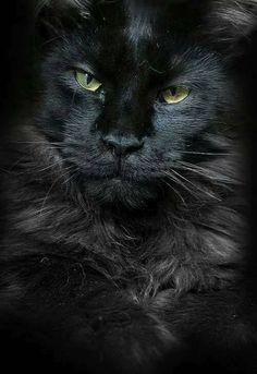 New Cats Breeds Maine Coon Faces Ideas Big Cats, Crazy Cats, Cool Cats, Cats And Kittens, Ragdoll Kittens, Tabby Cats, Funny Kittens, Bengal Cats, White Kittens