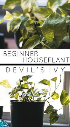 Beginner Houseplants: Devil's Ivy