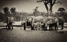 Botswana Elephants - Decorative Collective Antiques Online, Selling Antiques, Dc Photography, Galleries In London, Black N White Images, Elephants, Still Life, Rock And Roll, Animals