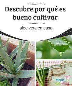 Descubre por qué es bueno cultivar aloe vera en casa  Cultivar aloe vera en casa es una gran idea que, sin lugar a dudas, te recomendamos. En primer lugar para tu salud y, después, por el bienestar de tu hogar.