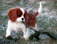 Cavalier King Charles Spaniel Autumn Pup, Pup raking up the leaves!❤️☀️❤️