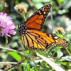 Monarch butterfly refusing to submit that winter is here.