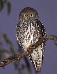 Barking Owl  -  Ninox connivens Strigidae -    | BirdLife Australia