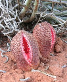 This root holoparasitic plant, Hydnora africana, parasitizing Euphorbia mauritanica (background) in the Richtersveld of South AF, only emerges from the soil to flower. Weird flowers. Looks like somthing from another planet! O.O