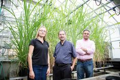 chill-tolerant sugarcane hybrids, called miscanes, also photosynthesize (grow) at lower temperatures