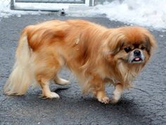 SAFE--- SUPER URGENT 3/6/15 Manhattan Center LIL MIKE - A1029509 *** LOSS OF VISION *** MALE, BROWN / WHITE, PEKINGESE MIX, 9 yrs STRAY - STRAY WAIT, NO HOLD Reason STRAY Intake condition UNH&UNTREA Intake Date 03/06/2015 https://www.facebook.com/photo.php?fbid=973052122707667
