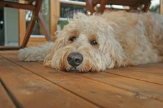 Goldendoodle- my BFF has this dog and they are so active! People that love the outdoor and everything would love this dog! Name him CHARLIE!!!!! :)