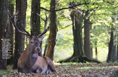 Red deer Bialowieza