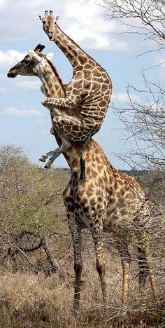 Zoiets is volgens mij gewoon onmogelijk. Een giraf die bij een andere in de nek zit.