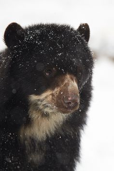 Today, a bear portrait in the snow. Hope you like it! Thank you all for your views, comments and faves! Unusual Animals, Animals Beautiful, Cute Animals, Excited Animals, Spectacled Bear, Forest People, Love Bear, Animal Species, Black Bear