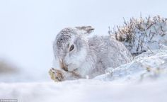 Grumpy bunny: A white mountain hare casts an evil glance as it is pictured hiding in the snow in the Cairngorm National Park Farne Islands, Fallow Deer, Roe Deer, Cairngorms, Photography Competitions, Photo Competition, Life Pictures, British Isles, Cute Photos