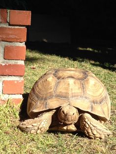 80 pound female sulcata tortoise , 10 years old