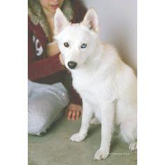 Shedding season   #thursdaymorning #thursday #shedding #tistheseason #pomsky #love #siberianhusky #pomeranian #husky #blueeye #dog #puppy #instadog #instapuppy #dogsofinstagram #puppiesofinstagram #dogoftheday #dogsofinstaworld #dogstagram #lacyandpaws #dogsync #cuddleclones #grettasrandomwednesday #thehuskylove #DogsandPals #HOHSS2016 by milanesa.sosa