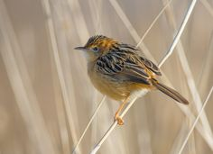 Golden-headed Cisticola (Cisticola exilis) India to Australia