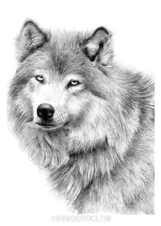 White Wolf by chandito on DeviantArt Beautiful Pencil Drawings, Pencil Art Drawings, Amazing Drawings, Realistic Drawings, Wolf Sketch, Cat Sketch, Human Figure Drawing, Cat Drawing, Drawing Hair