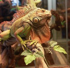 iguana cages   Green Iguana Cage facts & Information