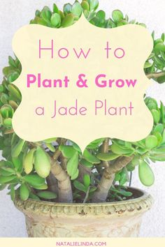 How to Care for a Jade Plant Jade plants are low-maintenance succulents and houseplants that are easy to grow, and are beautiful, too. If you're new to gardening, this plant is an excellent starting point! Learn more with this helpful growing guide. House Plants, Jade Plants, Garden Plant Stand, Jade Plant Care, Plants, Growing Plants, Flower Pot Design, Trees To Plant, Planting Succulents