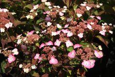 HYDRANGEA serrata AVELROZ ® 'Dolmyf' cov Hydrangea Serrata, Floral Wreath, Wreaths, Plants, Decor, Hydrangeas, Decoration, Door Wreaths, Dekoration