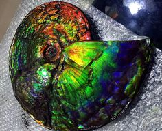 Heavy Landing!!! Gem!! Rare Beautiful Canada Spot Colors Conch Fossils Ammonites