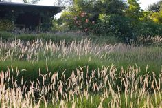 meadow garden drought tolerant front yard lawn substitute using flowering ornamental fountain grass pennisetum fairy tails in santa barbara california