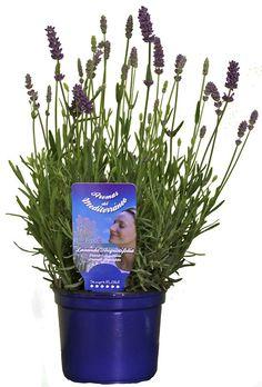 Lavender, Lavanda