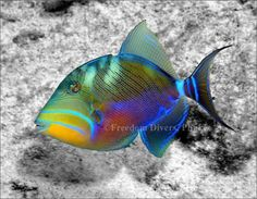 Titan Triggerfish Discover the real colors of Andaman with Freedom Divers Phuket - http://freedom-divers.com